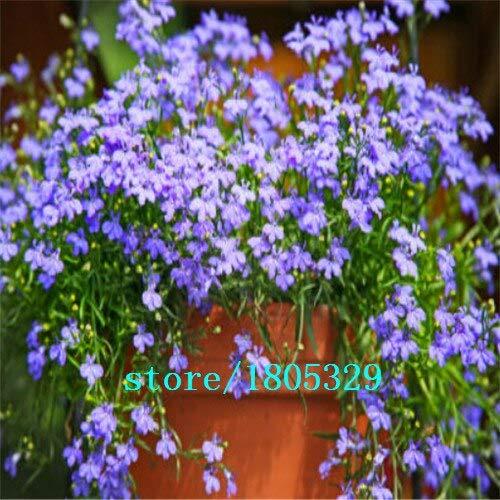 Preto: Lobelia Erinus Sementes 100 Pcs Sementes De Flores Diy New Home Jardim Bonsai Cor Da Mistura De Flores Bonitas Frete Gr & Aacute; Tis