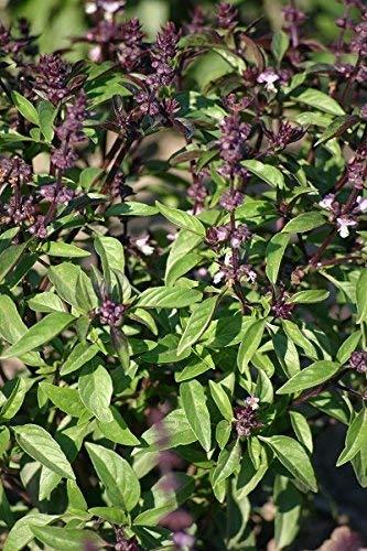 Graines de Thai Basil Siam Queen - Ocimum basilicum - 900 graines