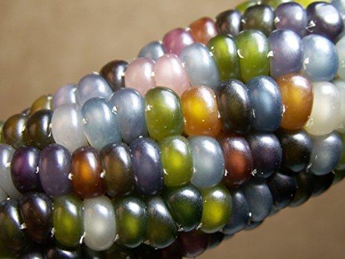 Glass Gem Corn Seeds (200 Seeds) - USA Grown by PowerGrow Systems Guaranteed to Grow