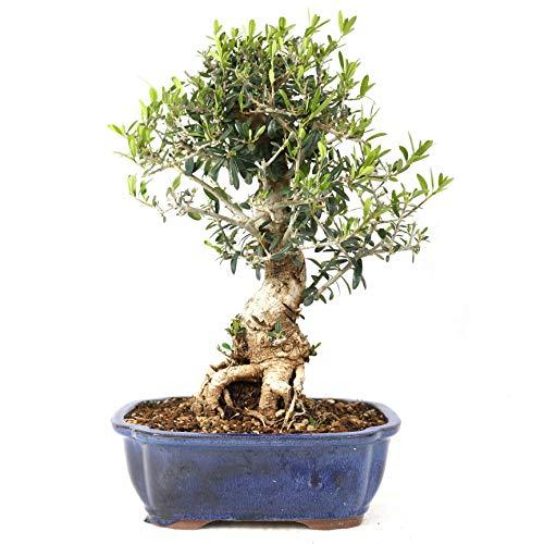 Bonsái, Olivo, Olea europaea sylvetris, 12 años, altura 34 cm