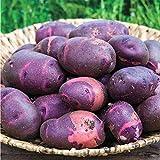 100 Pcs Bonsai Pourpre De Patate Douce Organique Délicieuse Nutrition Fruits Légumes Verts DIY Jardin Jardin...