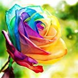 Kisshes Seedhouse - rare 20pcs graines de rosier multicolor La rose(Rosa) Le rosier Tequila arc en ciel/bicolore résistant au froid
