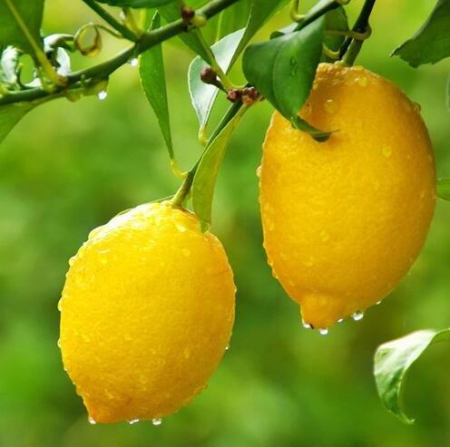 20 graines naines Lemon Tree - plantes d'extérieur, bricolage jardin Bonsai, parfumé 6