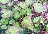 Bodendecker, 5x Elfenblume gelb