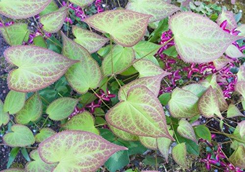 Mueller Muenchehof Pflanzen GmbH Bodendecker, 5X Elfenblume weiß