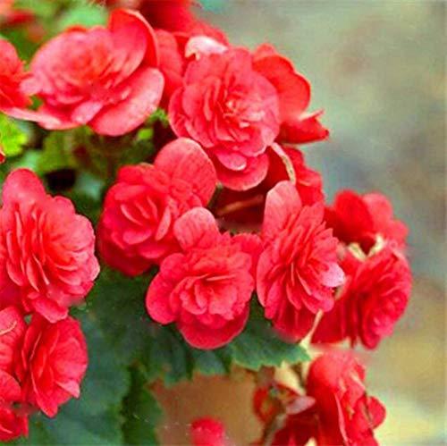 New Balcon usine 20 pièces colorées Begonia Graines de fleurs Rare Rose Rieger Begonia fleurs Begonia Plantes d'intérieur Bonsai Garden 13