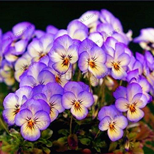 50pcs/sac Violet Jardinerie Plantes Violet Fleurs vivaces herbes Matthiola Incana semences pour la maison et le jardin 3