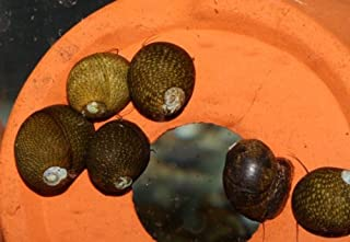 石巻貝 10個(8+2個)