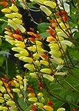 Tropica - SK-Sternwinde (Mina lobata Jungle Queen) - 20 Samen