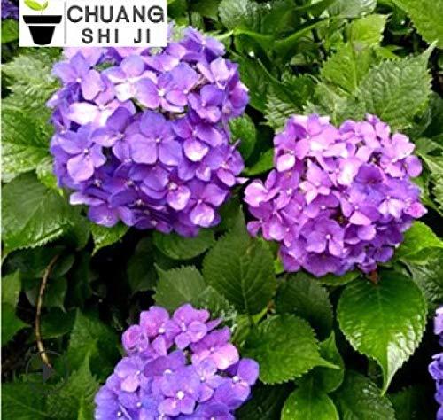 Aerlan Blumensamen Bunte,Hortensie Blumensamen Farbe ändern Innen saubere Luft Topfpflanze-Deep Purple,mehrjährig Blumen
