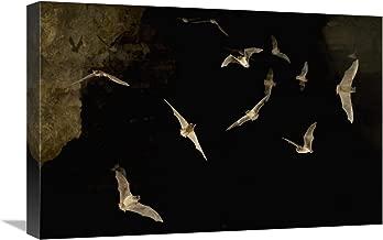 "Brazilian Free-tailed Bat group emerging from James Eckert River Bat Cave at dusk, Texas-Canvas Art-24""x16"""