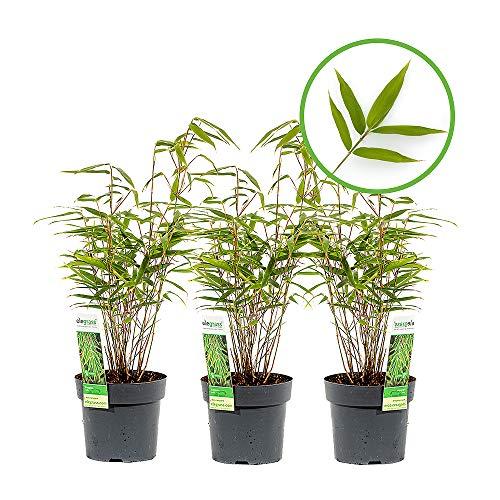 Mein schöner Garten Bambus Fargesia Rufa – Schirmbambus für Garten Terrasse und Balkon – Bambuspflanze immergrün – Gartenbambus winterhart – Echter Heckenbambus als Sichtschutz