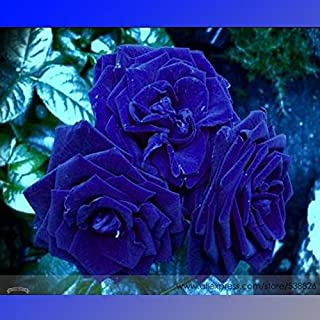 New Rare Heirloom 3-Flower Blue Damask Rose Bush Flower 50+ Seeds/Pack