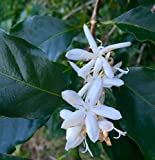 Coffea canephora robusta | Coffee | 10_Seeds