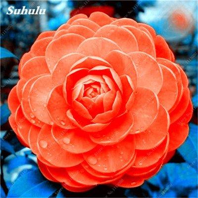 Grosses soldes! 10 Pcs Camellia Graines, Graines Bonsai Fleur, couleur rare, bonsaïs d'intérieur / extérieur Plante en pot pour jardin Facile à cultiver 23