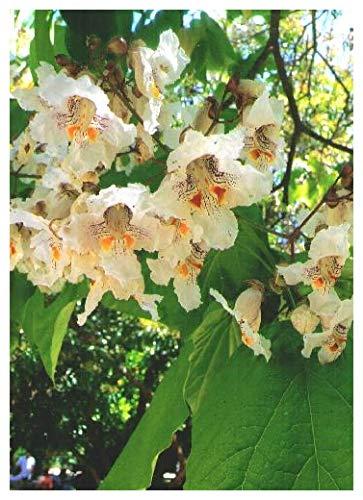 TROPICA - Trompetenbaum (Catalpa bignonioides) - 40 Samen