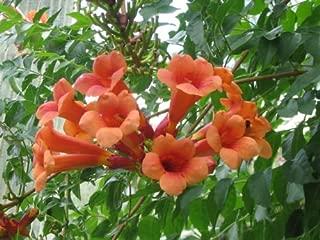 Bignoniaceae Campsis radicans - trumpet creeper vine, Red flowers, starter plant