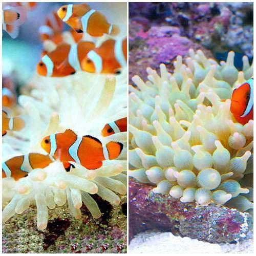 (海水魚)カクレクマノミ(2匹)+サンゴイソギンチャクセット 熱帯魚 北海道航空便要保温