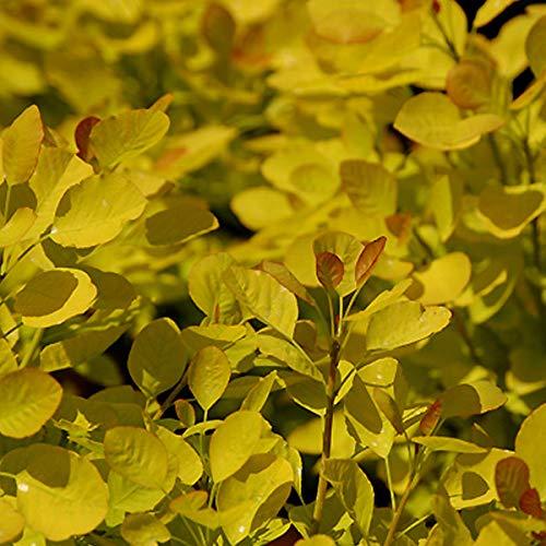 Cotinus Coggygria Golden Spirit - Perückenstrauch 'Golden Spirit®' 40-60 cm Pflanzcontainer