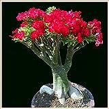 Flores asombrosas,Hermosas flores ornamentales,Embellecer el medio ambiente,Desert rose bulbs-3 Bulbos