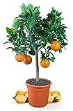 Meine Orangerie Blutorangenbaum Sanguinello Mezzo - echte Blutorange - Zitruspflanze - 70-100 cm - Blood Orange - veredelter Apfelsinenbaum in Gärtner-Qualität