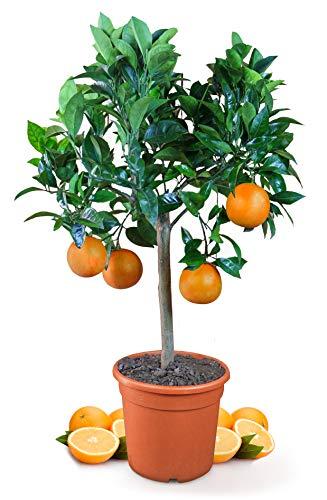 Meine Orangerie Orangenbaum Mezzo - echte Orange - Zitruspflanze - 70 bis 90 cm - Citrus sinensis - Orange Tree - veredelter Apfelsinenbaum in Gärtner-Qualität