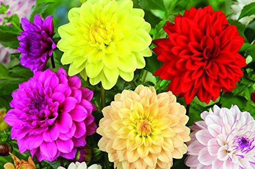 Dahlia Bulbs for Planting, Large, Dinnerplate, Dutch, Mix Decorative, Collection, Bulk, Dinner plate, tuber, flower, white (set of 5)