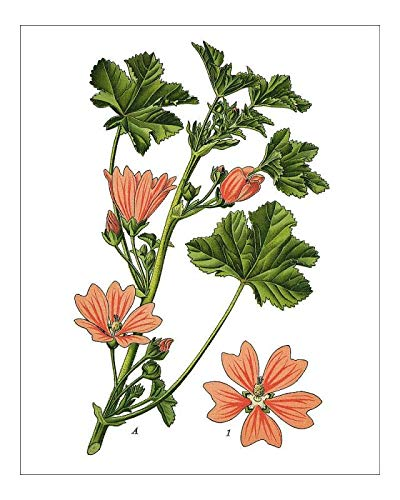 Media Storehouse 10x8 Print of Common Mallow, Cheeses, high Mallow, Tall Mallow (19674151)
