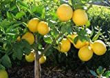 Pianta albero di limoni di Sicilia' limone lunario/limone 4 stagioni' in fitocella