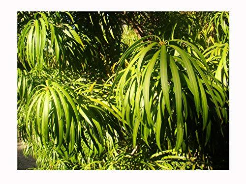 Japanische Eibe, Podocarpus Macrophyllus, essbare Konifere, Obst und Laub, selten erhältlich, ideal für UK-Klima, 6–8 cm Pflanze in einem 7 cm Topf