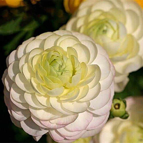Davitu 50 pcs/lot Renoncule Graines Home Garden Décoration DIY Bonsai plantes Semences 1