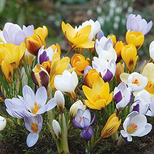 100x Blumenzwiebeln Mix | 100er Set Verwildernde Pflanzen | 7 Sorten | Gemischte Farben | Blumenzwiebeln Frühblüher