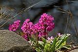 Die Rosen-Primel (Primula rosea) Teichpflanze Teichpflanzen Teich