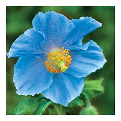 Premier Seeds Direct PAP17F Himalayischer Blauer Mohn Samen (packung mit 50)