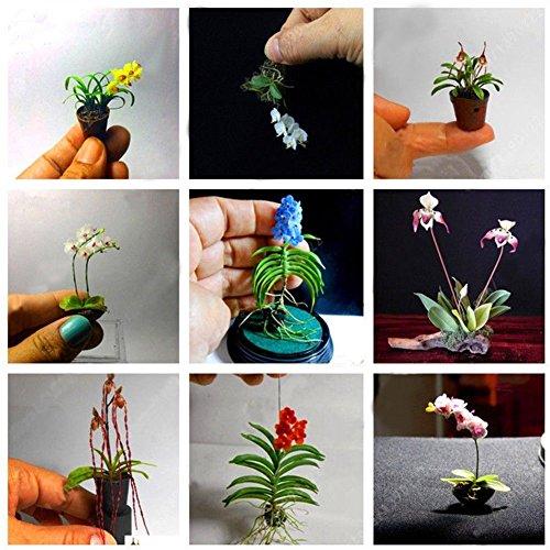 KimcHisxXv Mini Orchidee Samen, 100 ST¨¹CKE Seltene Mini Orchidee Samen Samen Blume Phalaenopsis Indoor Miniatur Garten