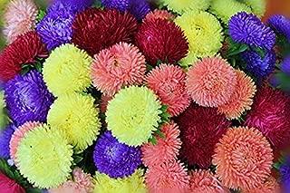 Seeds Aster Princess Mix Flower Annual Outdoor Garden Cut Organic Ukraine