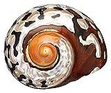 8-9cm Natural Africano Turbante Mar Cáscara Coral Conch Snail Natural Pañado Gran Tornillo Tornillo Conch Shells Coral Colección Acuario Adornos Adornos Casa Pesca Tanque Decoración Mar Caracol Concha