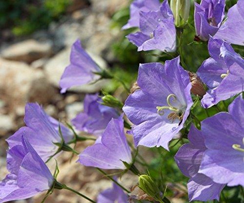 Karpaten-Rundblättrige Glockenblume, tussock Bellflower Samen - Campanula carpatica