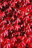 Colorate rosso inglese edera Hedera helix 25 semi di purificazione dell'aria Pianta