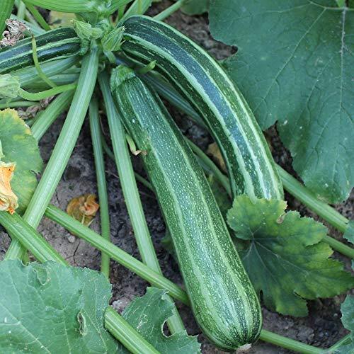 Samen für ca. 10 Pflanzen Striato d`Italia Zucchini - gestreifte Früchte, guter Ertrag
