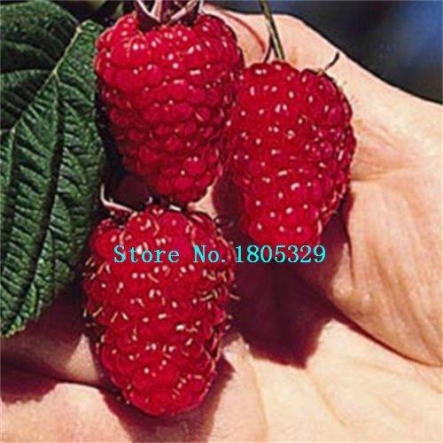 200PCS pures graines RED Rubus Framboises Graines Antioxydant Bush Fruits graines des plantes Livraison gratuite