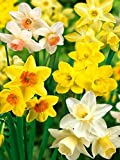 50 Very Large Bulbs, Narcissus (Daffodils),Garden/Landscape Mix