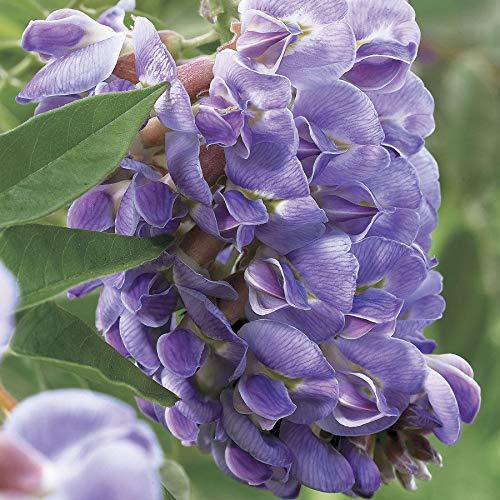 PLAT FIRM GRAINES DE GERMINATION: 100 Lila Wisteria-Blumensamen Stauden Kletterpflanze Rebe Seed-Hausgarten