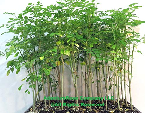 Moringa Oleifera Plant, Tree of Life, Non-GMO Drumstick Tree, Ben Oil Tree 2 Plants 16