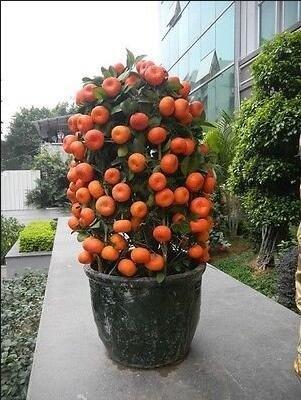Golden Delicious orange semences Mini Potted arbres fruitiers Graines Bonsai Intéressant planter 50 particules/lot 1