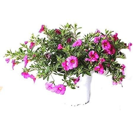 Calibrachoa Hybrida Planta de Exterior con Flores de Colores Surtidos