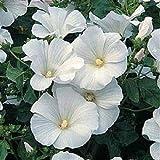La quantità del pacchetto è 49419 Vendiamo solo semi Semi ad alto tasso di germinazione La restituzione della merce non è disponibile Semi Rose Lavatera trimestris Bianco / Annual 40+