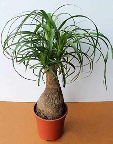 Portal Cool Bio-Blumensamen Nolin Flaschenbaum (Nolina Recurvata) Pflanze Indoor