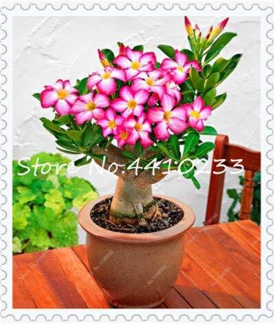 Generic Fresh 10 Stk. Gemischte Blütenblätter Desert Rose Flower SEEDS zum Pflanzen von Pink 1