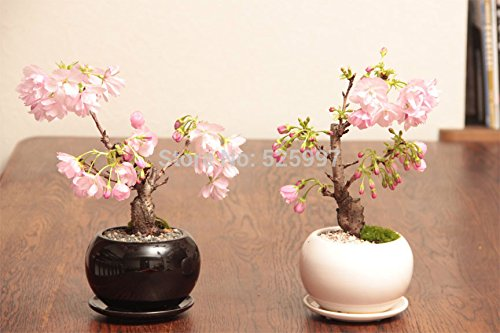 2015 limitées dans le temps réel Plantes d'extérieur vivaces Happy Farm Semillas De Flores 15 Graines Couleur Blossom Sakura Seeds. Graines / lot